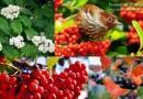 Красная, черная рябина: польза и вред для здоровья