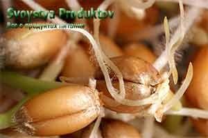 польза и вред пшеницы