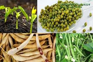 состав витаминов фасоли