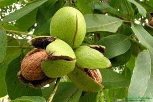 Какие полезные свойства имеет грецкий орех thumbnail