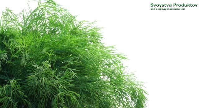 Укроп - польза и вред растения