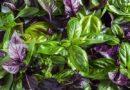 Полезные свойства травы базилик и противопоказания