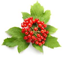 Калина - польза ягоды