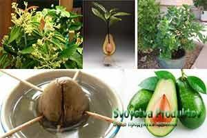 состав и витамины авокадо