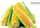 В чем состоит польза и вред кукурузы для здоровья человека ?