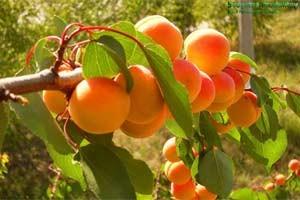 Польза абрикосовой камеди