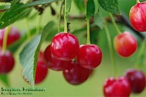 Ягода вишня полезные свойства