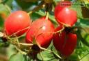 Ягоды шиповника: лечебные свойства и противопоказания к употреблению