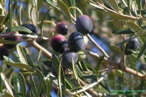 Целебные свойства маслин