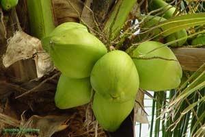 Лечебные свойства кокоса