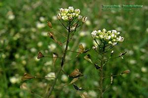 лечебные свойства травы